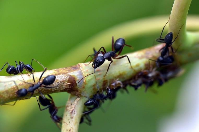 Cómo acabar con una plaga de hormigas